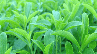 Steviol glycosides in stelvia plant