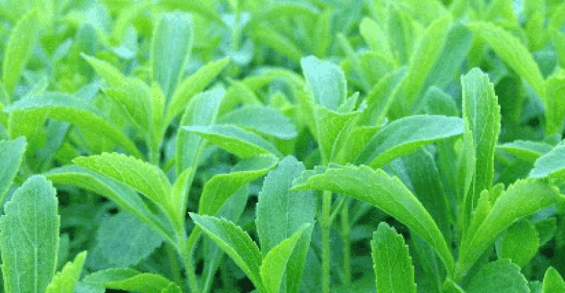Steviol glycosides in stelvia plant